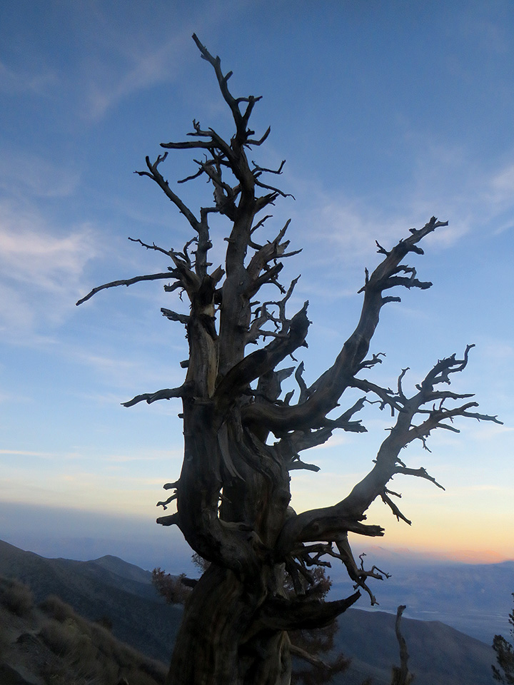 Bristlecone Pine at Telescope Peak in Death Valley National Park, CA. Photo by Hilary Clark.