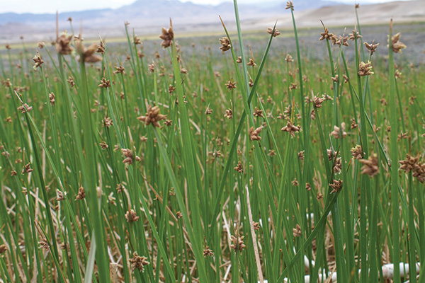 Three Square Bullrush - required habitat for the Amargosa Vole. Photo by Stephanie Castle