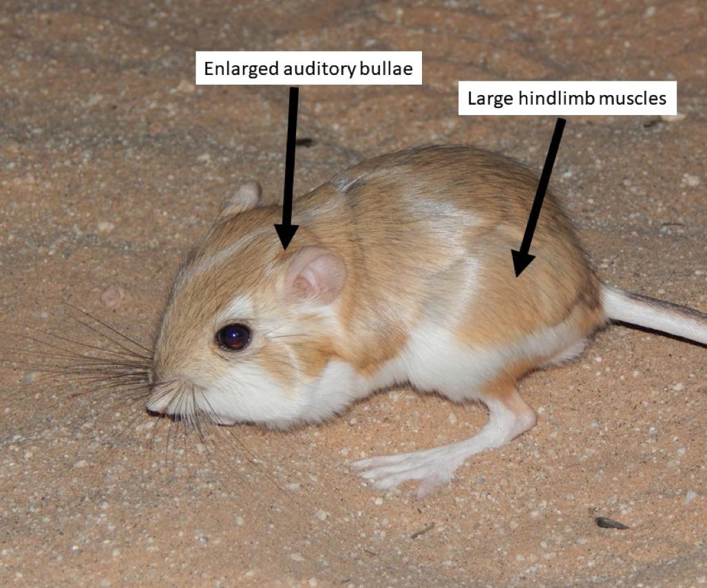 Figure 2. A foraging desert kangaroo rat (Dipodomys deserti) with key antipredator adaptations labeled.