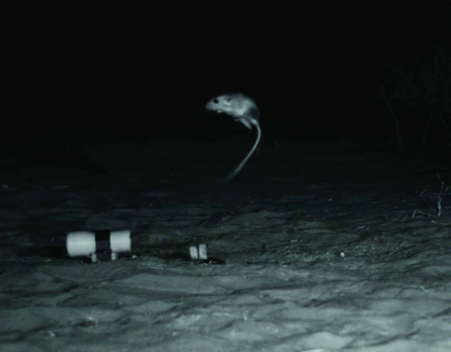 Figure 3. A desert kangaroo rat leaping in response to the rattlesnake strike simulator (RSS). Note: the black marking on the hindquarters is from fur dye and is not a coloration typical of kangaroo rats.