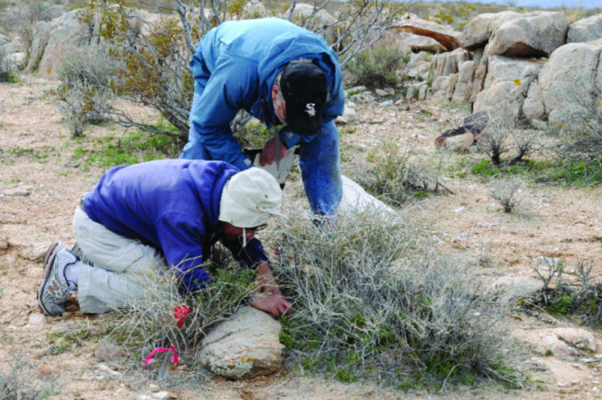 Photo 3: Researchers from UCLA (Rasoul Sharifi and Barry Prigge) look for milk-vetch inside of a tagged host shrub