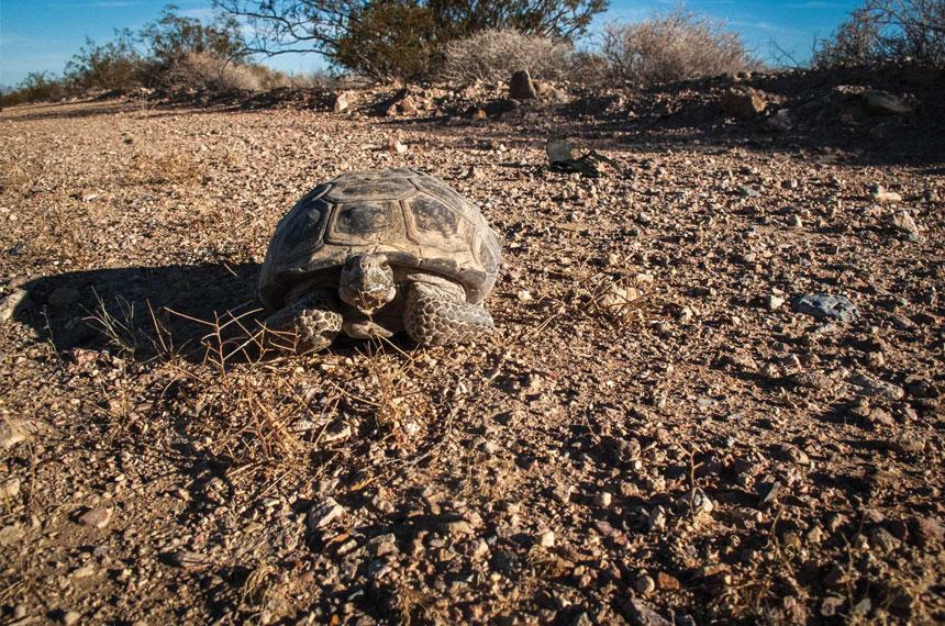 "Desert tortoise in the erstwhile ""disturbed"" area of Charleston View. Credit: Nancy Good, New Light Foto Design"