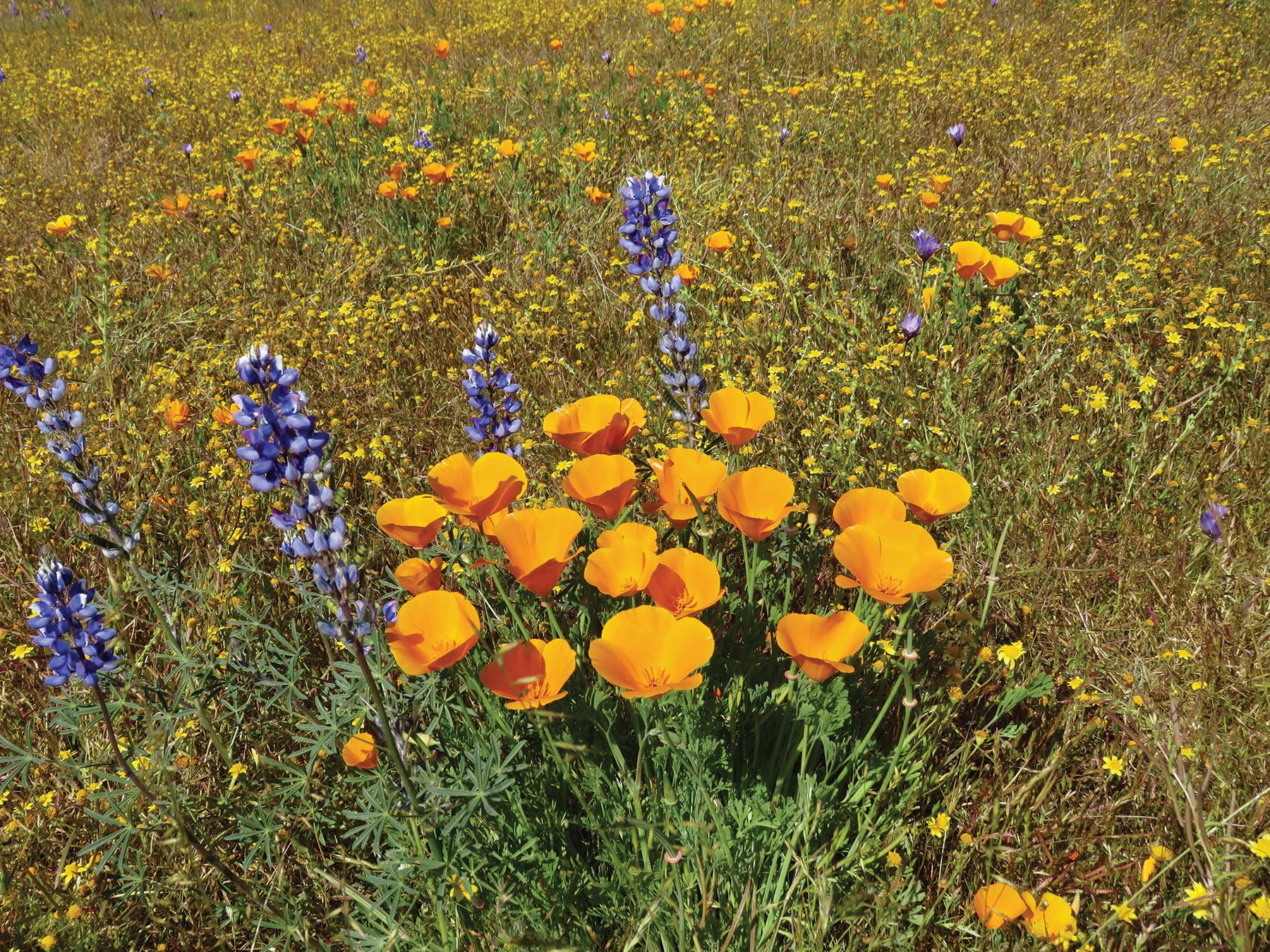 California poppies, arroyo lupine in Carrizo Plain. Photo by Mary Deutsche